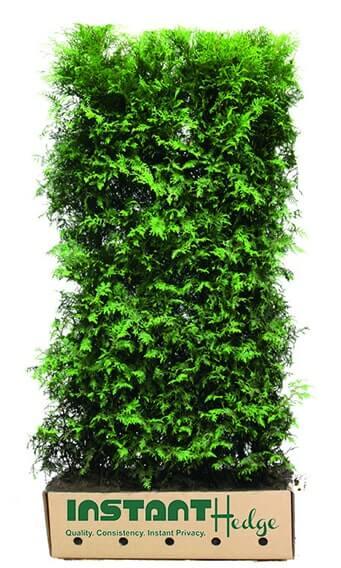 0461-Thuja-Green-Giant-hedge-unit-in-biodegradable-cardboard-min