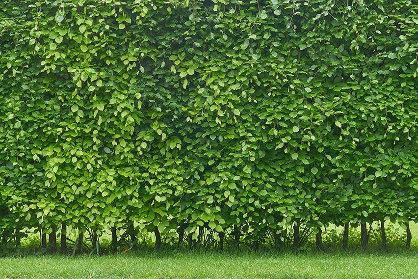 1092178895-fagus-beech-privacy-hedge-green-summer-foliage