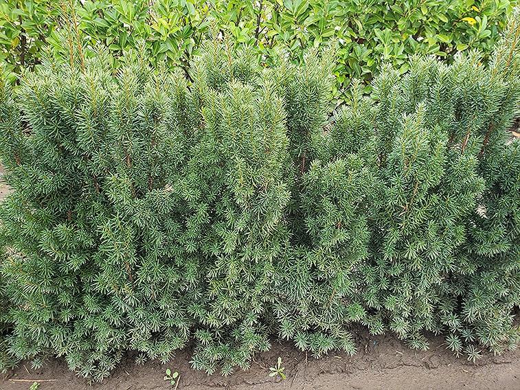 taxus-hicksii-yew-hedge-3-feet-tall-field-row-nursery