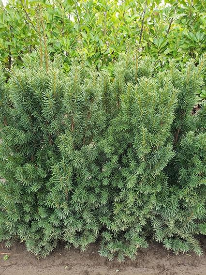 11.55.43-taxus-hicksii-yew-hedge-3-feet-tall-field-row-nursery