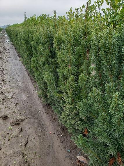 11.56.22-taxus-hicksii-yew-hedge-3-feet-tall-field-row-nursery