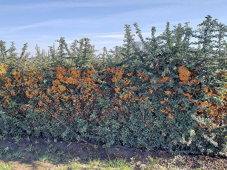 113702-pyracantha-teton-firethorn-hedge-winter-orange-berries-evergreen