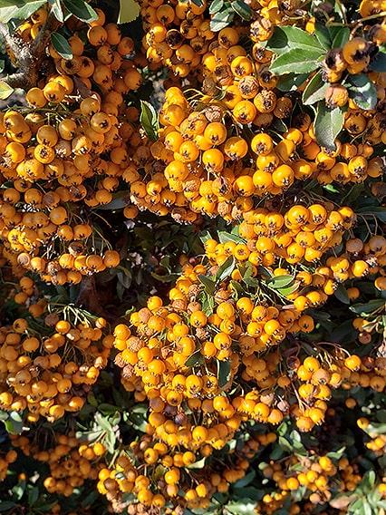 113808-pyracantha-teton-firethorn-hedge-winter-orange-berries-evergreen