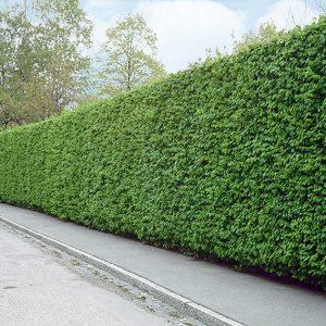 116051_140-Carpinus-hornbeam-Driveway-street-privacy-noise-barrier-screen
