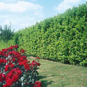116310_140-Prunus-laurocerasus-lawn