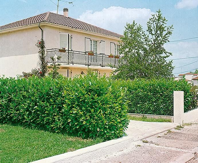 116315_140-Prunus-laurocerasus-driveway-street