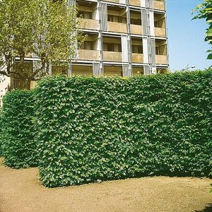 117600_140-Carpinus-hornbeam-commercial-driveway-street-apartment-hotel-landscape