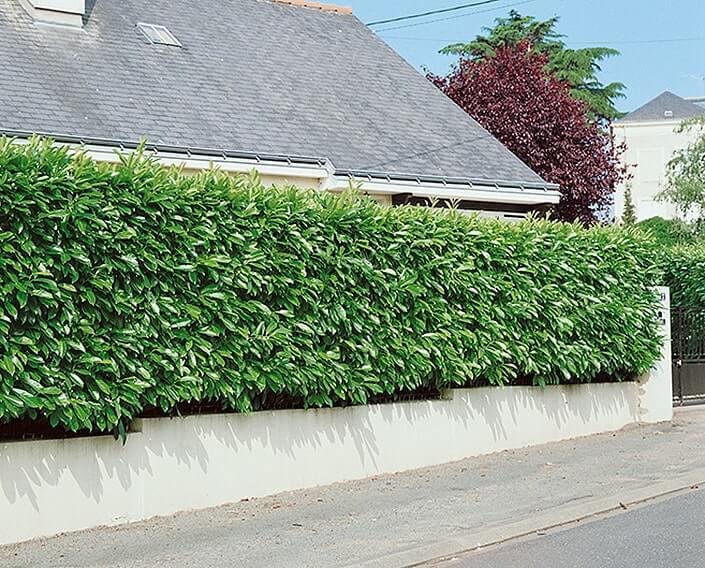 122254_140-Prunus-laurocerasus-driveway-street-suburban