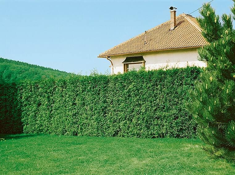 123201_140-Thuja-Emerald-Green-Smaragd-residential-suburban