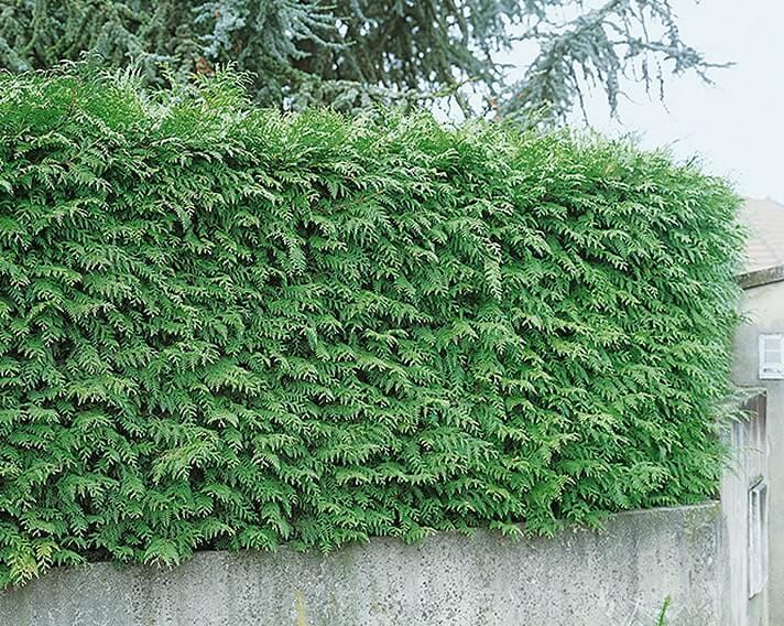123209_140-Thuja-Green-Giant-wall-estate-suburban-urban