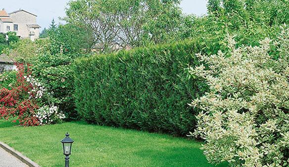 fast growing shrub