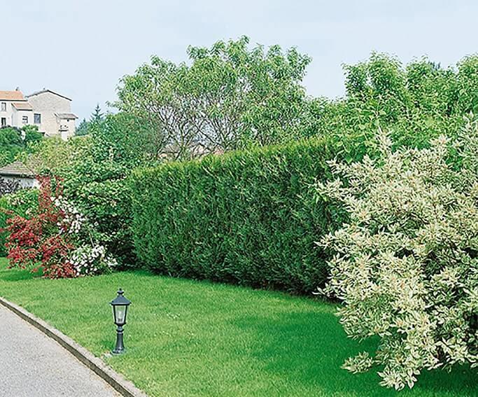 123212_120-Thuja-VirescensSuburban-park-driveway-estate