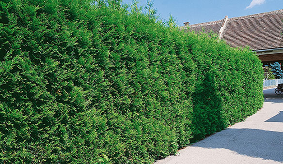 best privacy hedge