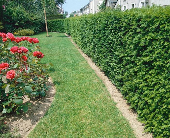 123400_140-Taxus-fence-suburban