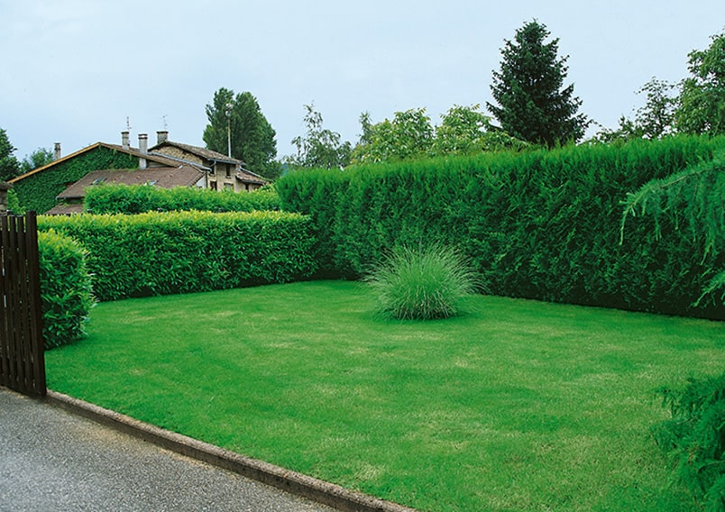 124904_140-Prunus-laurocerasus-and-Thuja-Green-Giant