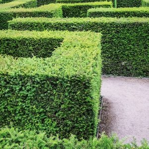 1272480169-taxus-yew-hedge-tall-privacy-maze-garden-path-estate-formal-park-museum-art-min