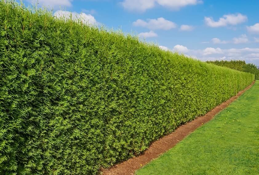 139789426-Thuja-emerald-green-park-garden-estate