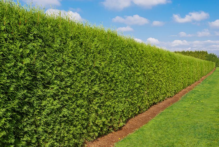 139789426-Thuja-smaragd-emerald-green-arborvitae-privacy-hedge-park-garden-estate