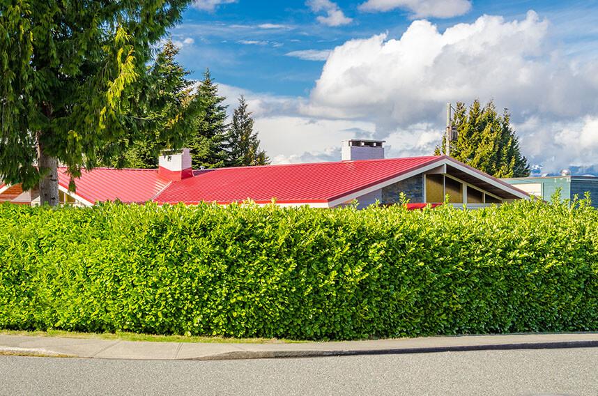 172930253-prunus-laurocerasus-english-cherry-laurel-urban-suburban-privacy-hedge-street-curb-appeal