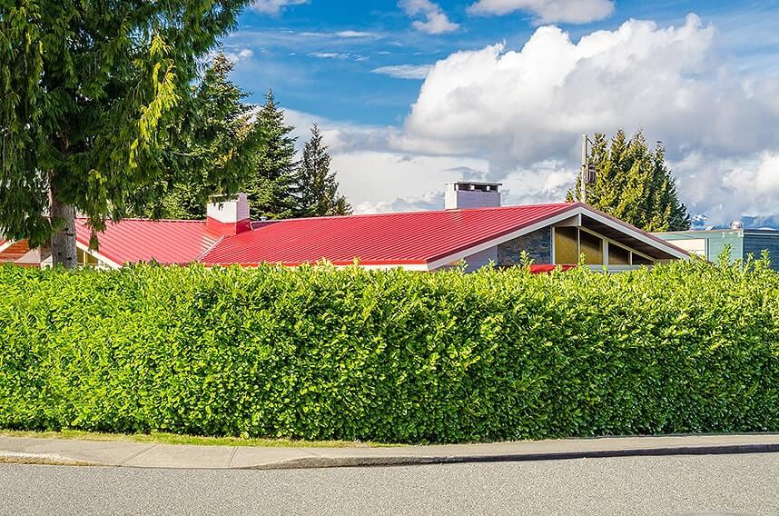 172930253-prunus-laurocerasus-english-laurel-tall-privacy-hedge-fast-growing-urban-suburban-border-sidewalk-noise-block-green-screen