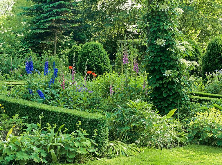 18190-Buxus-boxwood-country-garden