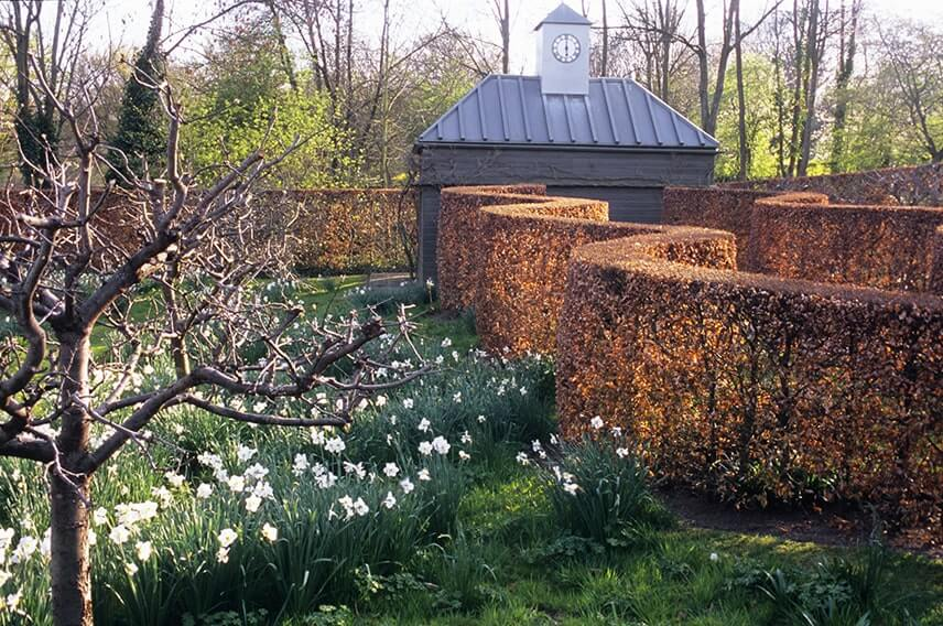 18740-Fagus-beech-hedge-commercial-garden-contemporary-curve-winter-spring-daffodil