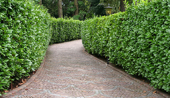 evergreens for privacy: Formal Screen can be created by using varieties of privacy hedges.