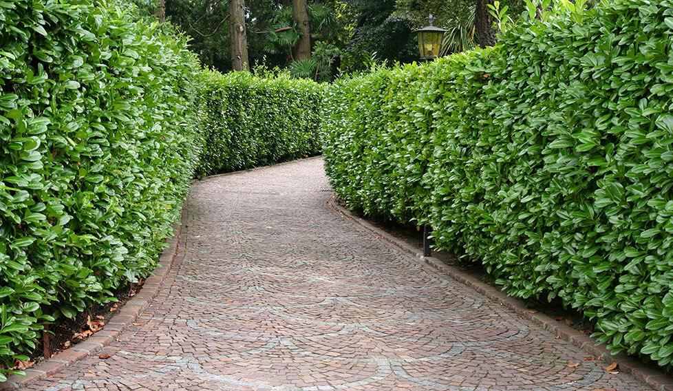 22195513-Prunus-laurocerasus-english-cherry-laurel-privacy-hedge-driveway-estate