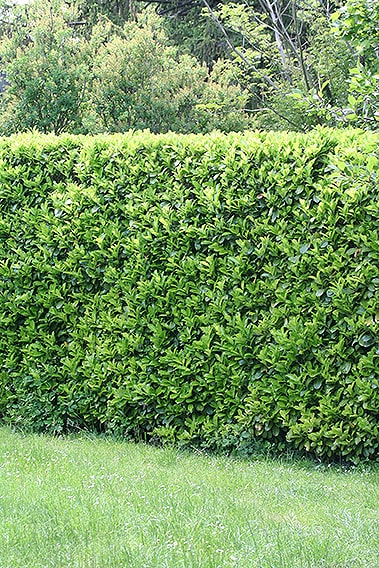 326982395-prunus-laurocerasus-english-cherry-laurel-hedge-privacy-tall-fast-growing-country-suburban-garden