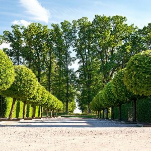 369669836-Fagus-beech-hedge-formal-park-estate-entry-driveway-allee-avenue-topiary