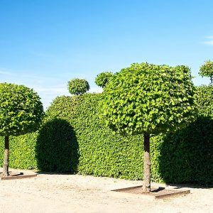 383483533-Fagus-beech-hedge-formal-park-estate-entry-driveway-allee-avenue-topiary