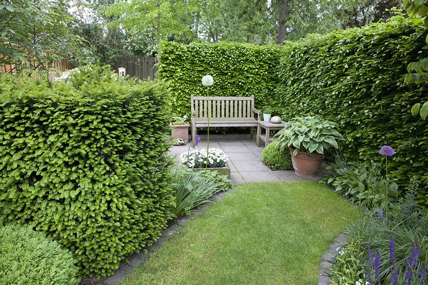 52641-Taxus-Fagus-hedge-yew-beech-country-garden