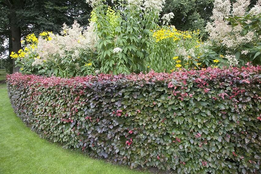 53426-fagus-beech-purple-copper-hedge-border-flower-bed-lawn-suburban-garden-cottage-summer-contemporary-landscape