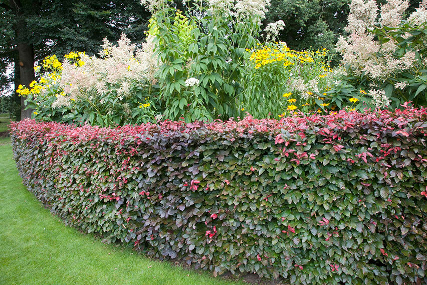 53426-fagus-beech-purple-copper-hedge-border-flower-bed-lawn-suburban-garden-cottage-summer-contemporary-landscape