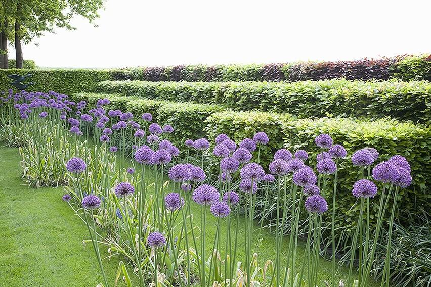 55825-fagus-beech-hedge-privacy-layers-green-purple-copper-mixed-allium-flower-simple-modern-contemporary garden-landscape