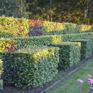 56809-fagus-beech-hedge-purple-green-copper-mixed-varied-height-layers-border-modern-contemporary-design-suburban-garden