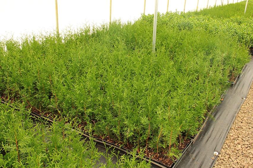 5683372-Thuja-'Green-Giant'-cuttings-hedge-propagation-min
