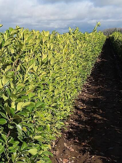 568595-Prunus-laurocerasus-english-cherry-laurel-hedge-field-row-nursery-winter-InstantHedge