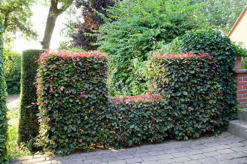 56958-fagus-beech-copper-purple-hedge-varied-height-window-prune-suburban-garden-path-room-summer