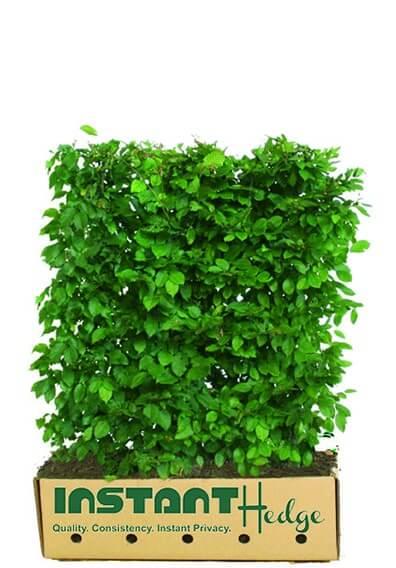 595836-Carpinus-betulus-Hornbeam-InstantHedge-3-4-foot-unit-ready-ship-biodegradable-cardboard