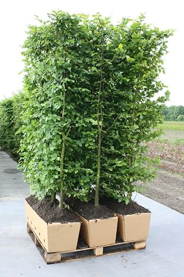615284-Fagus-sylvatica-beech-staging-harvested-three-hedge-units-pallet-biodegradable-cardboard-ready-ship