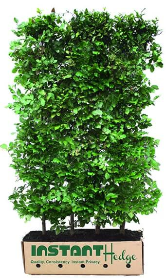 615285-Fagus-sylvatica-beech-staging-harvested-biodegradable-cardboard-box-InstantHedge-easy-ship