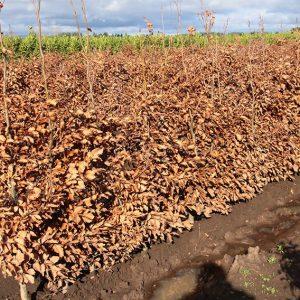 615286-Fagus-sylvatica-beech-InstantHedge-row-winter-leaves-field-nursery