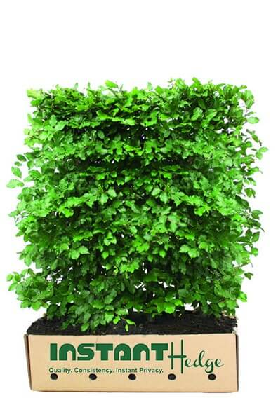 25 X COMMON BEECH FAGUS SYLVATICA GREEN DECIDUOUS HARDY HEDGING PLANT IN POT