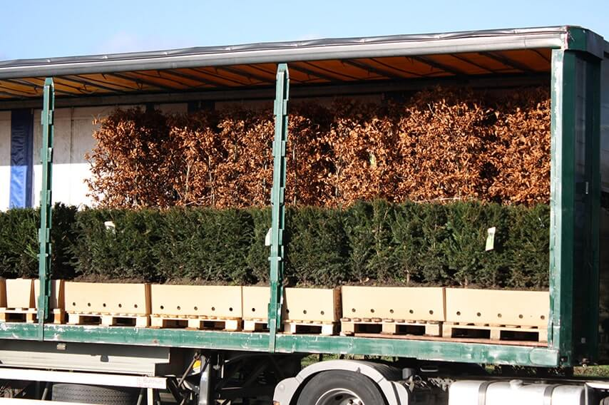 615289-Fagus-sylvatica-beech-harvested-InstantHedge-units-truck-ready-ship