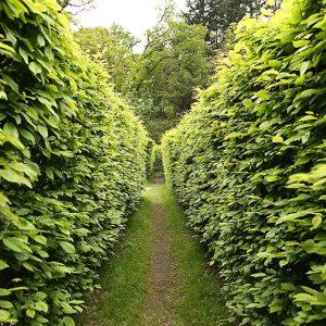 616799474-fagus-beech-tall-privacy-hedge-maze-garden-path