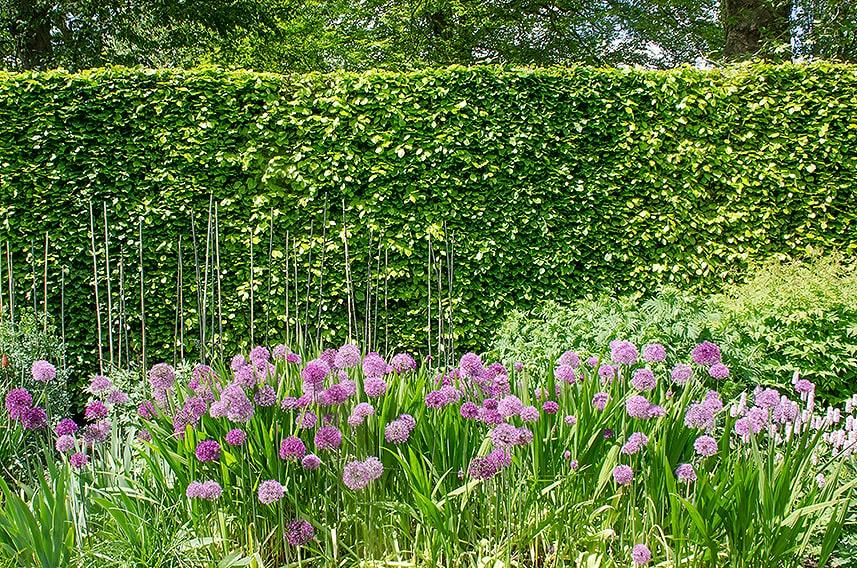 641723344-fagus-beech-privacy-hedge-estate-suburban-screen-flowers-summer-allium