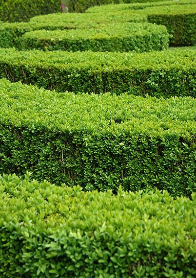 674739961-Buxus-Green-Mountain-layers-border