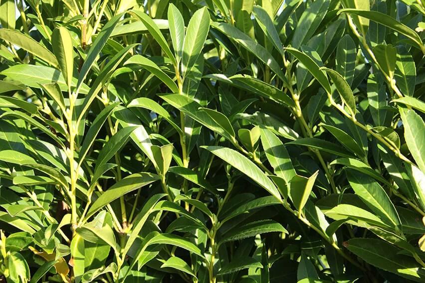 6759-Prunus-laurocerasus-Schipkaensis-skip-laurel-InstantHedge