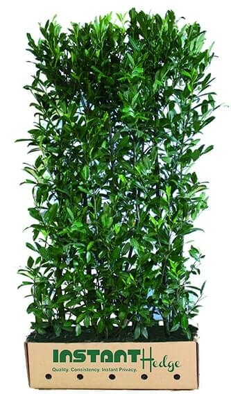 6760-Prunus-laurocerasus-Schipkaensis-skip-laurel-hedge-unit-cardboard-biodegradable